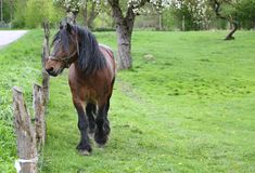 Brown power horse on enclosure at the meadow pasture, standing by the fence. royalty free stock photos