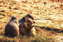 A Brown Prairie Dog Royalty Free Stock Photography
