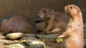A brown Prairie Dog standing upright and looking around in zoo at sunny day. Of summer. Captive family of black-tailed prairie dogs in grassland habitat. Genus stock footage