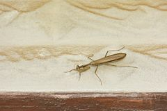 A Brown Praying Mantis above a House Door Frame stock photography
