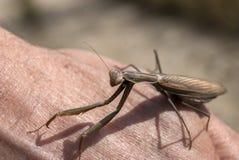 Brown praying mantis Royalty Free Stock Photography