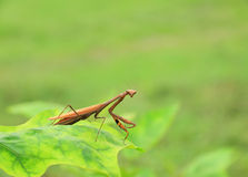 Brown praying mantis Stock Photography