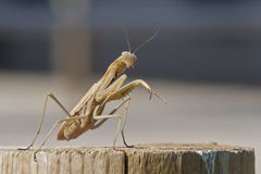 Brown Praying Mantis Ready to Box. Praying mantis standing with his dukes up challenging you to fight Stock Photo
