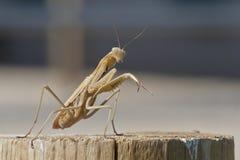 Brown Praying Mantis Ready to Box Stock Photo