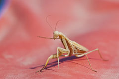 Brown Praying Mantis On Red. Praying mantis leaning staring you down on a bright red background Royalty Free Stock Photography