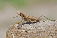 Brown Praying Mantis On Wood Staring You Down. Praying mantis leaning staring you down on a wooden surface Stock Images