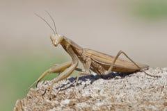 Brown Praying Mantis On Wood Staring You Down. Praying mantis standing and staring you down on a wooden surface Royalty Free Stock Image