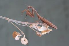 Brown praying mediterranean mantis Stock Photos