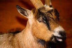 Brown, primer blanco y negro de la cabra La cabra tiene e viva, que amenaza Imagenes de archivo