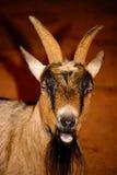 Brown, primer blanco y negro de la cabra La cabra tiene e viva, que amenaza Imagen de archivo libre de regalías