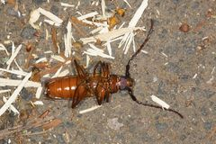 Brown prionid beetle lying on its back in Vernon, Connecticut. Stock Image