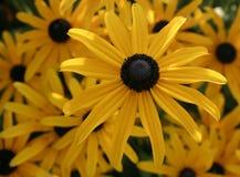 Brown Przyglądał się Susan kwiaty Zdjęcie Stock