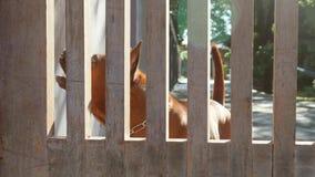 Brown psów Gniewnych gaceń Majątkowy Behind ogrodzenie 4K zbiory wideo