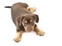 Brown psa lying on the beach obok Zdjęcia Royalty Free
