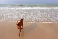 Brown psa odprowadzenie na plaży Obrazy Stock