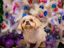 Brown psa traken Shih Tzu siedział dopatrywanie Obrazy Royalty Free