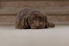 Brown psi kłaść w dół 1 Zdjęcia Royalty Free
