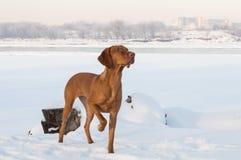 brown psi vizsla na śniegu zdjęcie stock
