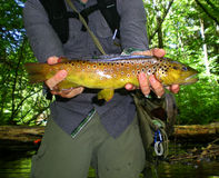 Brown pstrąg obraz stock