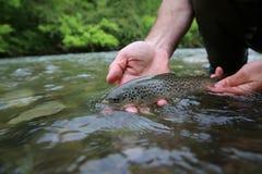 Brown pstrąg w rękach rybak Obraz Royalty Free