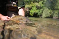 Brown pstrąg w rękach rybak Zdjęcia Royalty Free