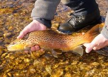 Brown pstrąg ryba Zdjęcia Royalty Free