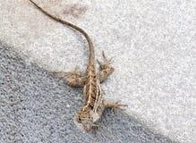 Brown pstrzył jaszczurki na chodniczka krawężniku fotografia royalty free