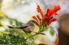Brown ptak na gałąź zdjęcie stock