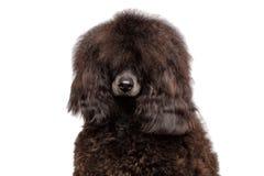Brown-Pudelhund auf lokalisiertem schwarzem Hintergrund stockfotografie