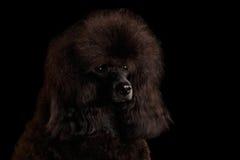 Brown-Pudelhund auf lokalisiertem schwarzem Hintergrund stockfoto