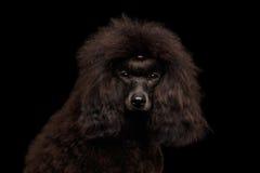 Brown-Pudelhund auf lokalisiertem schwarzem Hintergrund stockfotos