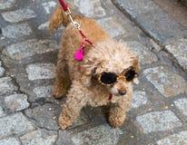 Brown pudla pies z glasse zdjęcia stock