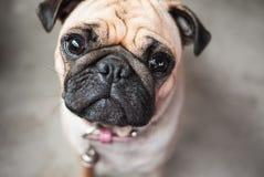 Brown pug dog wondering. Two big eyes staring directly to audience Royalty Free Stock Image
