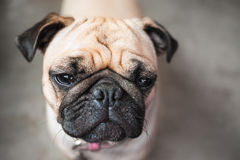 Brown pug dog with wrinkle face. Boring Stock Photography