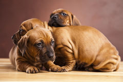 Brown puppies. Three brown little puppies cuddling with each other Royalty Free Stock Photos