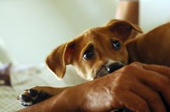 Brown puppy. Cute little brown puppy sitting on lap Royalty Free Stock Photos