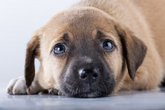 Brown puppy. Cute little brown puppy looking silently Stock Photo