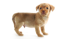 Brown puppy Stock Image