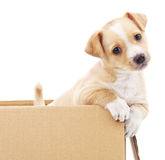Brown puppy in a box. Royalty Free Stock Images