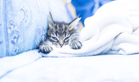 Brown puppy of cat on the sofa with a blanket Stock Images