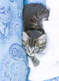 brown puppy of cat on the sofa with a blanket Stock Image