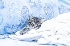 brown puppy of cat on the sofa with a blanket Stock Photos