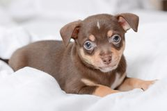 Brown puppy chihuahua royalty free stock image
