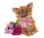 Brown puppy chihuahua and flowers Royalty Free Stock Photography