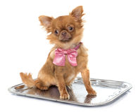 Brown puppy chihuahua Stock Photography