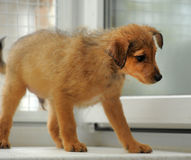 Brown puppy Stock Photos