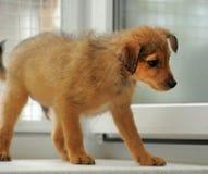 Brown puppy Stock Photos
