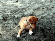 Brown puppy digs the sand Royalty Free Stock Photography