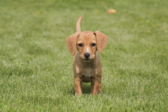 Brown puppy dog on grass Stock Images