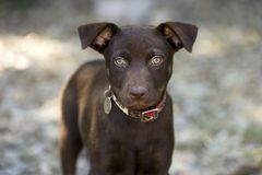Brown Puppy Dog Ourdoors Staring with Big Green Eyes Royalty Free Stock Photos